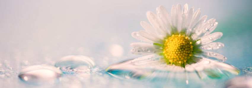 daisy-water-drops